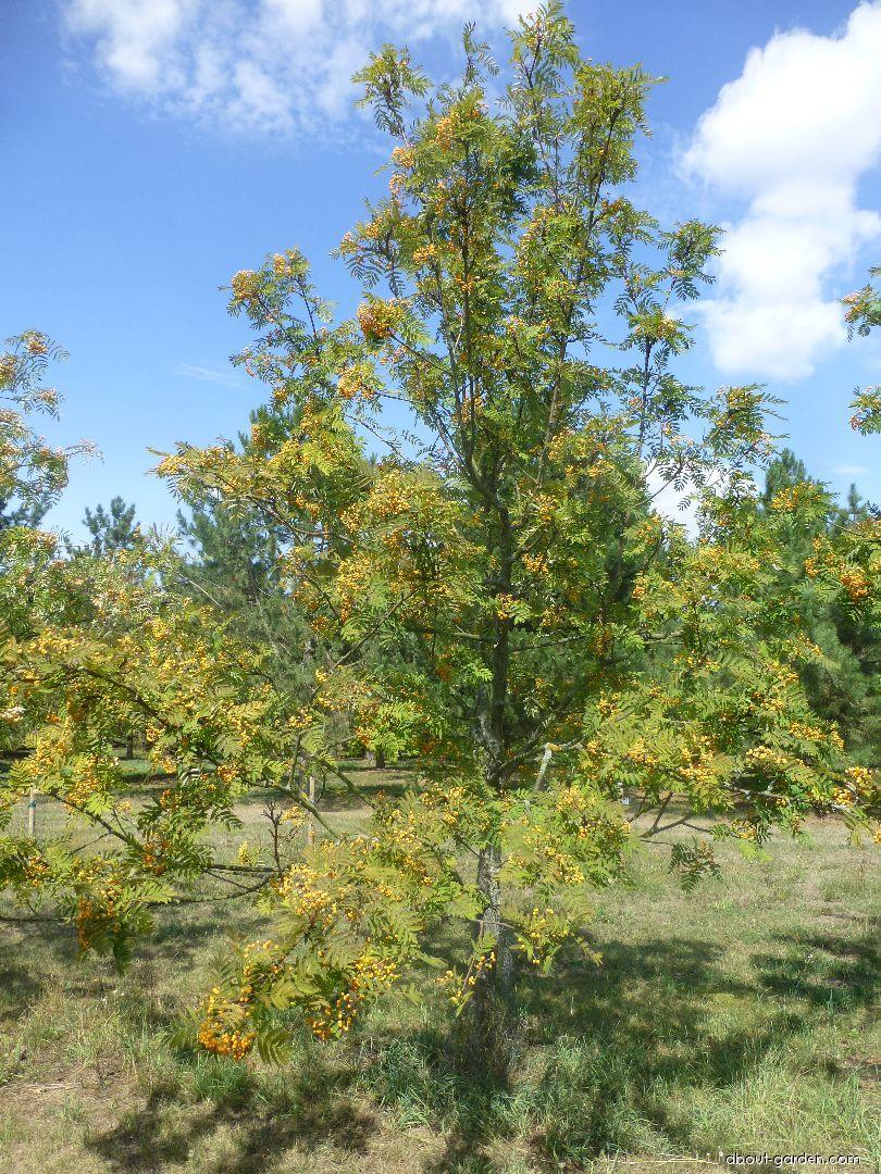 Jeřáb Upright Yellow - habitus s plody (Sorbus hybrida)