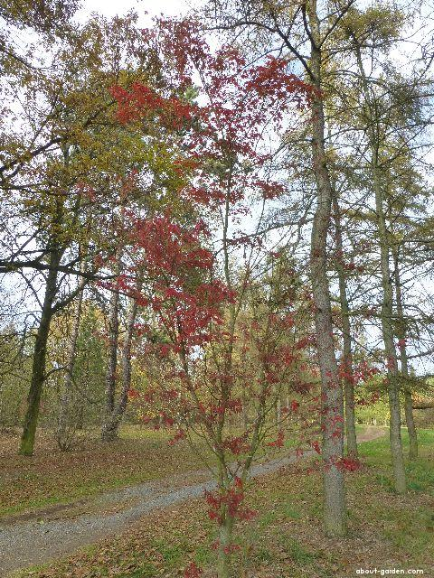 Javor dlanitolistý Sessilifolium - podzimní habitus (Acer palmatum)