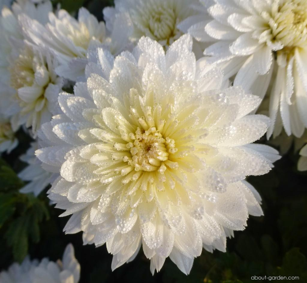 Chrysanthemum - Chrysanthemum x grandiflorum Celie