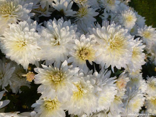Chrysanthemum - Chrysanthemum x grandiflorum Celie