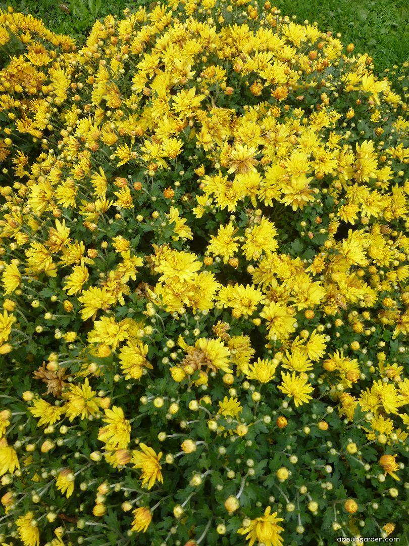Chrysanthemum - Chrysanthemum x grandiflorum Eliška