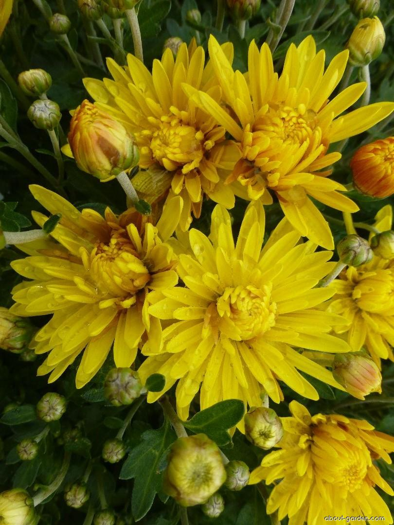 Chrysanthemum - Chrysanthemum x grandiflorum Eliška