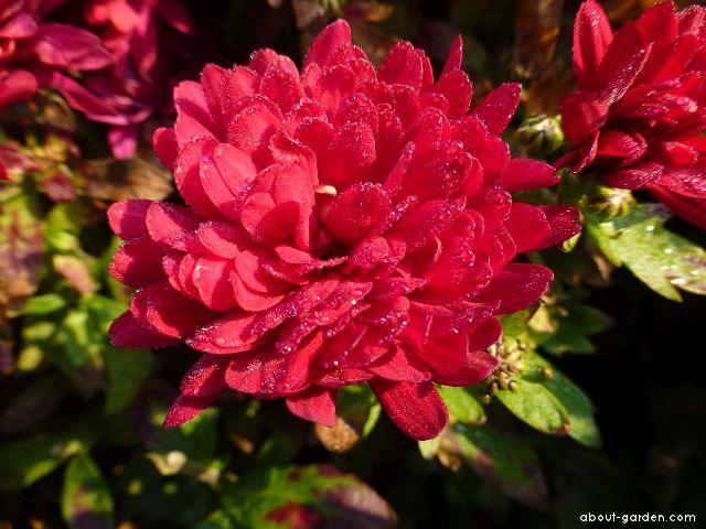 Chrysanthemum - Chrysanthemum x grandiflorum Dorota
