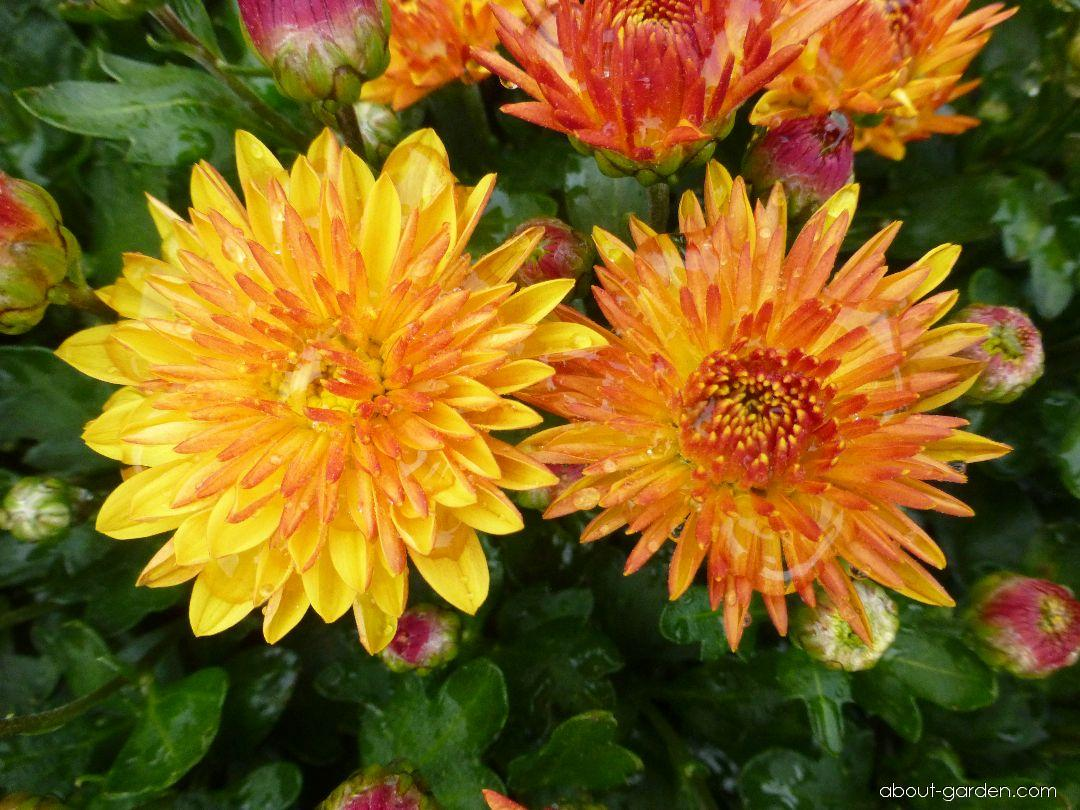 Chrysanthemum - Chrysanthemum x grandiflorum Berta
