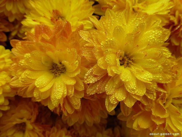 Chrysanthemum - Chrysanthemum x grandiflorum Berta