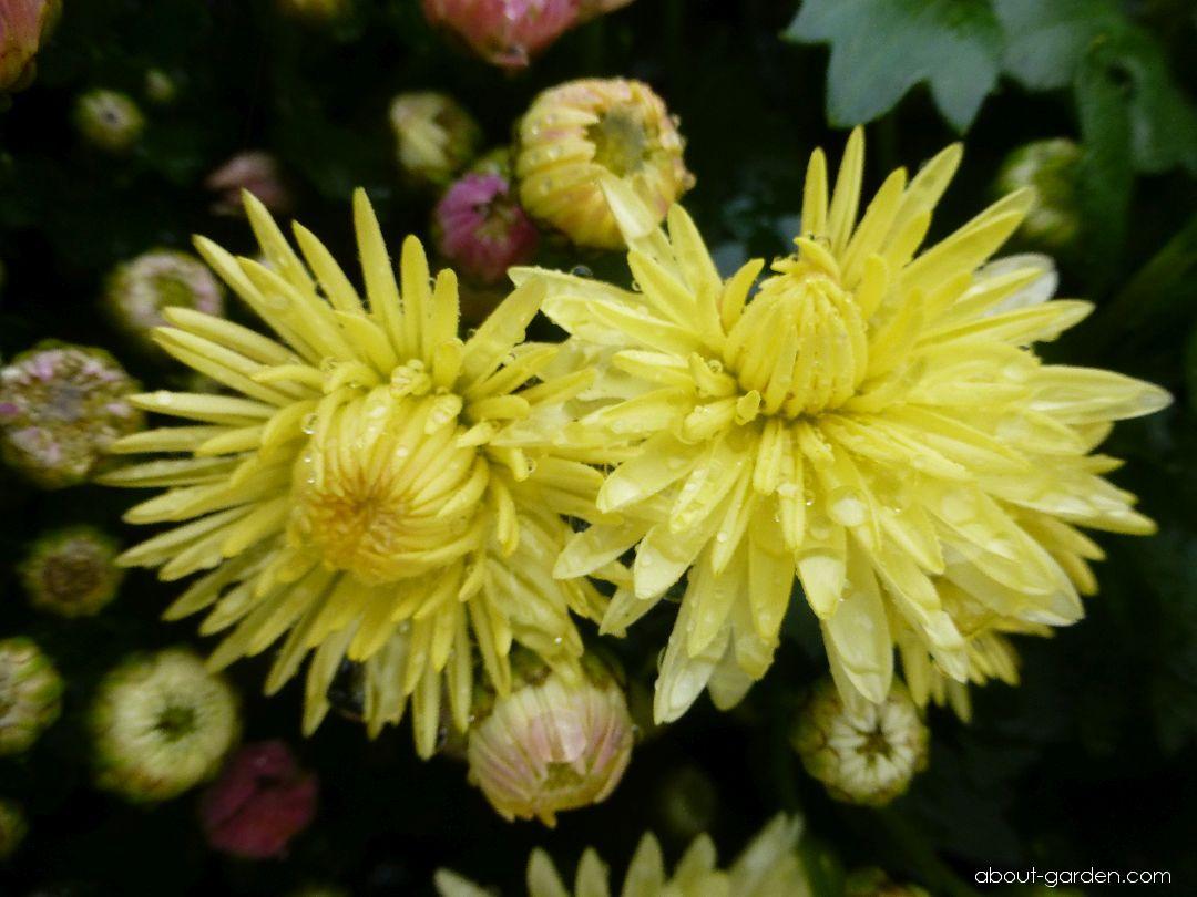 Chrysanthemum - Chrysanthemum x grandiflorum Estela