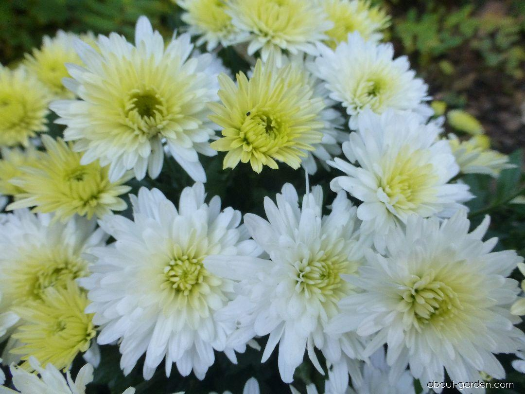 Chrysanthemum - Chrysanthemum x grandiflorum Estela