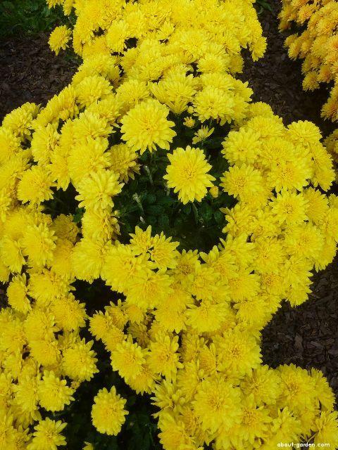 Listopadka zahradní Jitřenka (Chrysanthemum x grandiflorum)