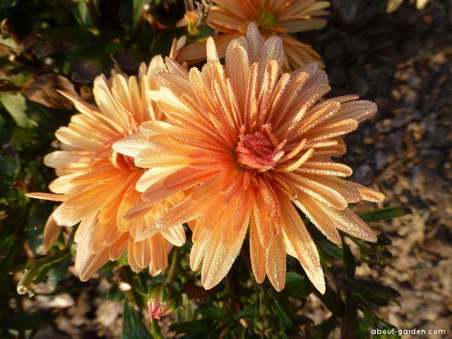Chrysanthemum - Chrysanthemum x grandiflorum Astrida bronzová