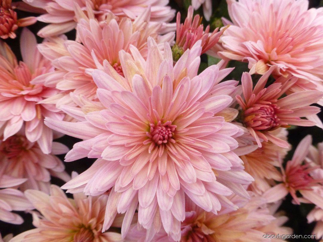 Chrysanthemum - Chrysanthemum x grandiflorum Astrida lososová
