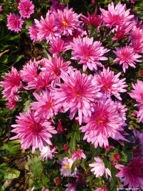 Chrysanthemum - Chrysanthemum x grandiflorum Astrida růžová