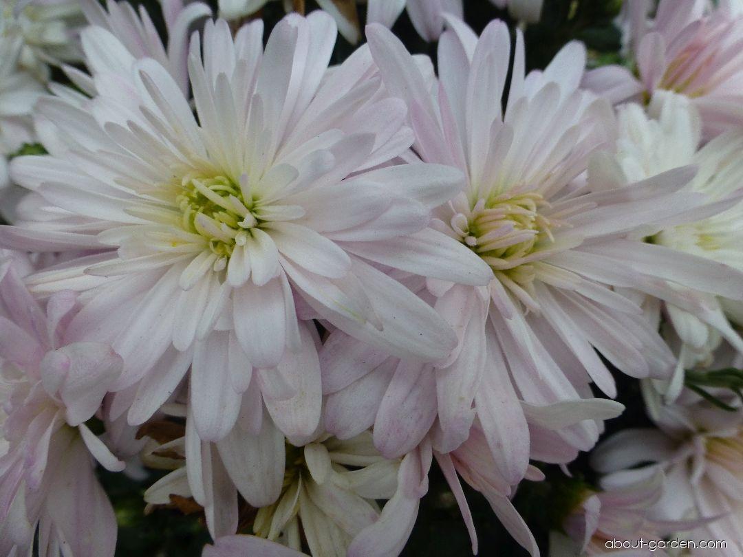Chrysanthemum - Chrysanthemum x grandiflorum Astrida bílá