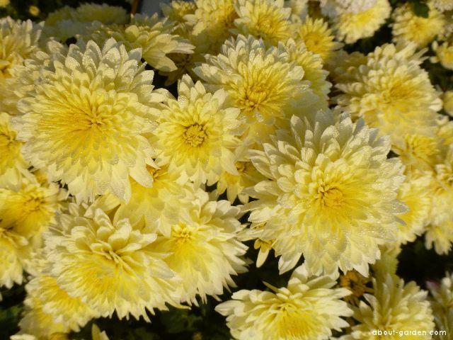 Chrysanthemum - Chrysanthemum x grandiflorum Celie žlutá