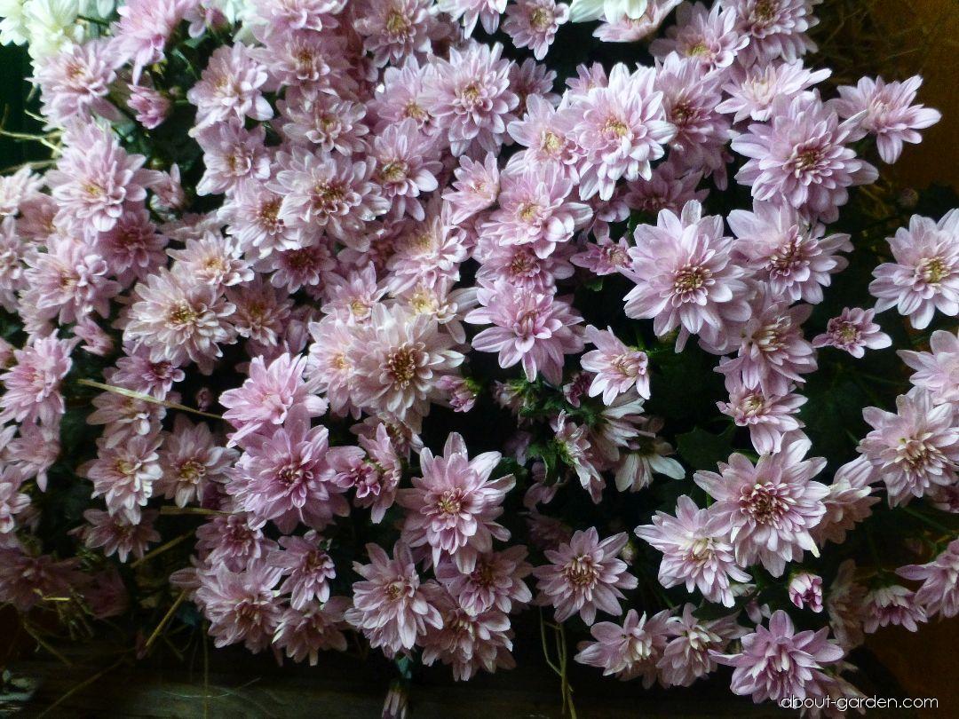 Listopadka zahradní Tosca růžová (Chrysanthemum x grandiflorum)