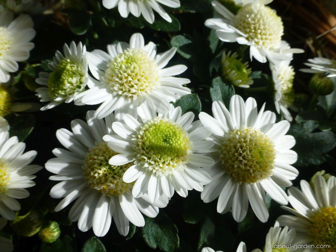Chrysanthemum - Chrysanthemum x grandiflorum Bela