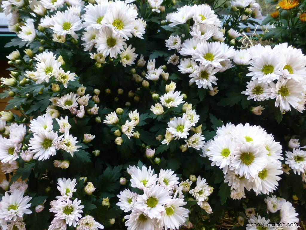 Chrysanthemum - Chrysanthemum x grandiflorum Klaudie