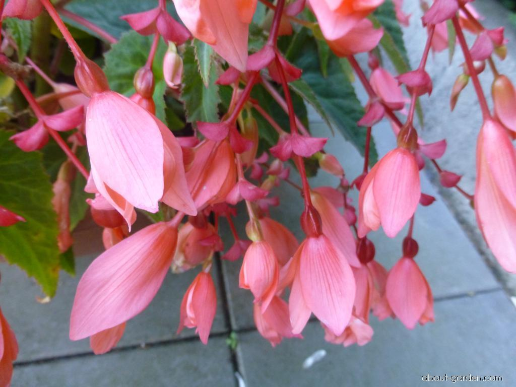 Begónie bolívijská (Begonia boliviensis)