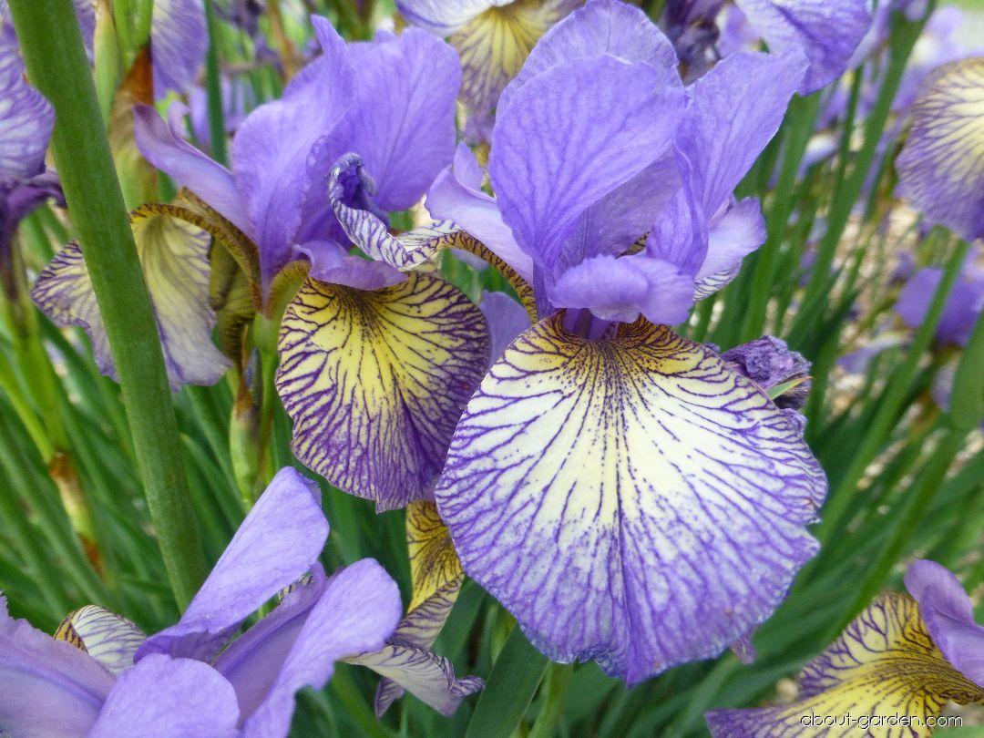 Kosatec sibiřský Banish Misfortune (Iris sibirica)