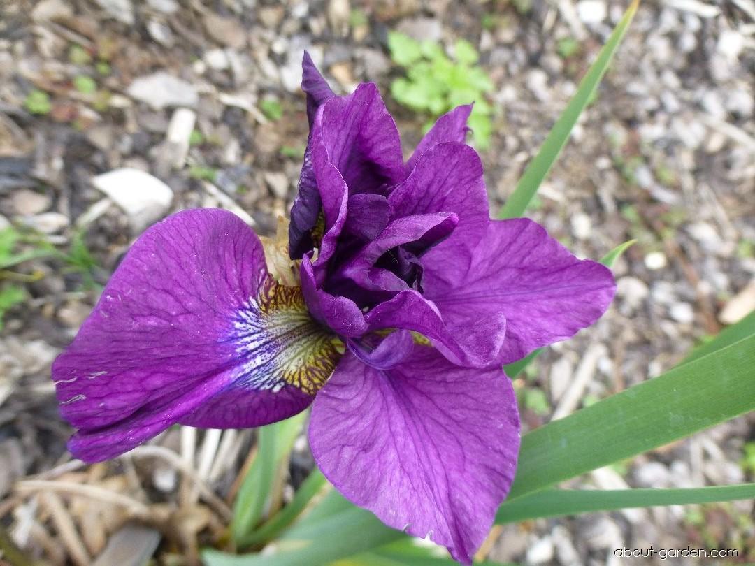 Siberian Iris - Iris sibirica Tumble Bug
