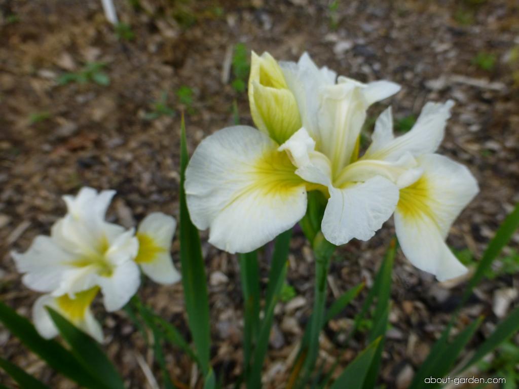 Siberian Iris - Iris sibirica Elegance and Simplicity