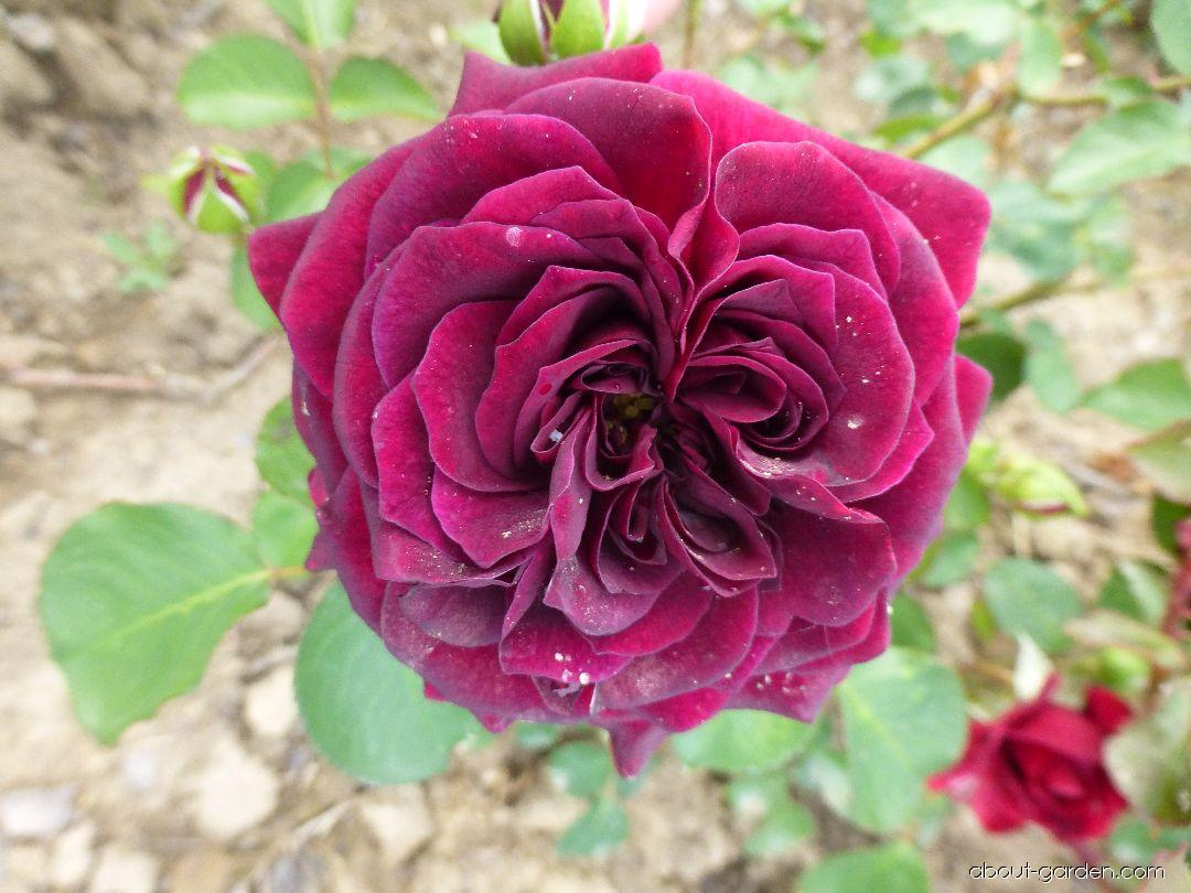 Rose - Rosa Tradescant