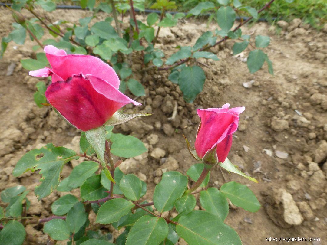Rose - Rosa Caritas