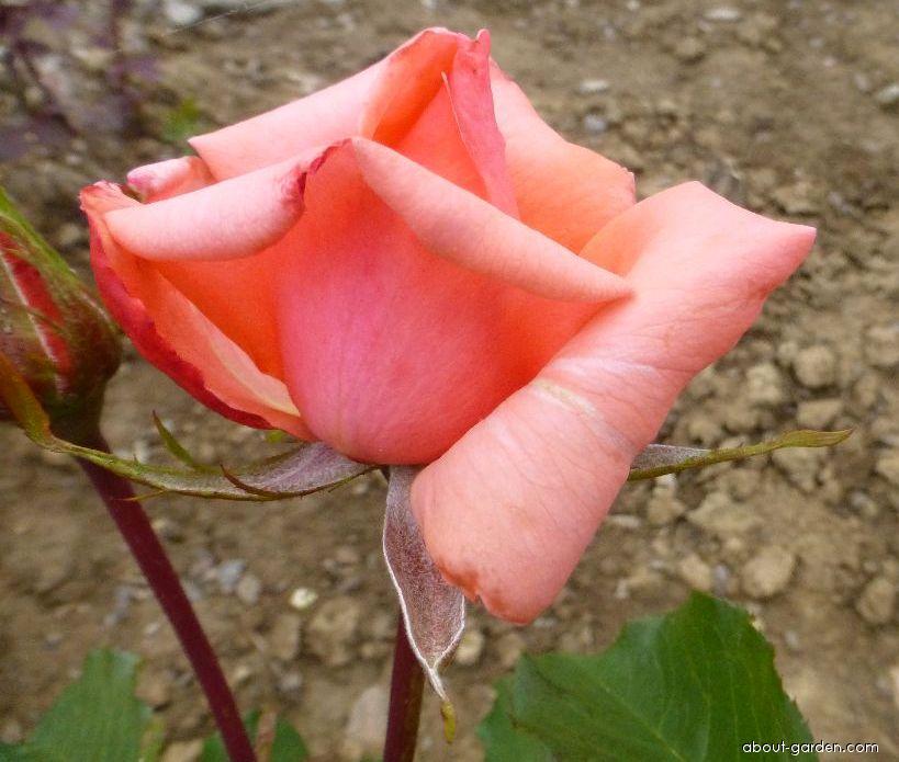 Rose - Rosa Grand Prix