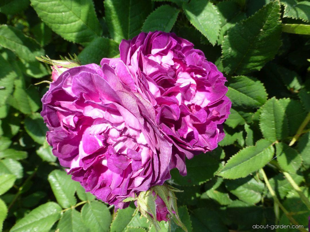 Rose - Rosa Belle de Crecy