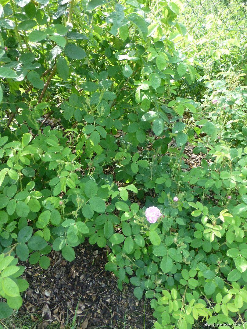 Rose - Rosa Coralie