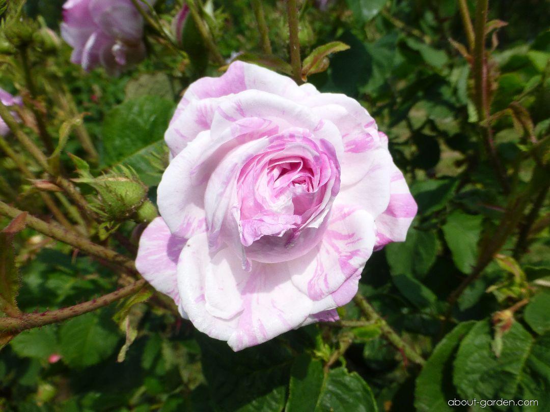 Rose - Rosa Tricolore de Flandre