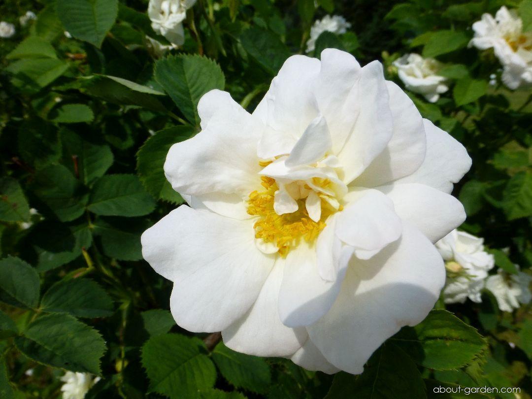 Rose - Rosa Frühlingsschnee