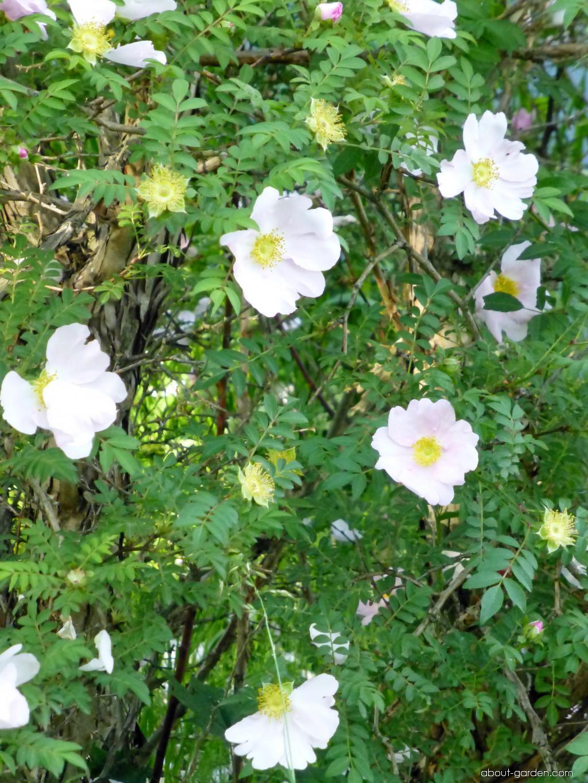 Růže Roxburghova (Rosa roxburghii)