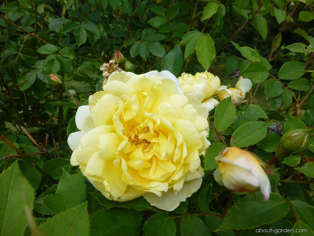 Rose - Rosa Yellow Romantica