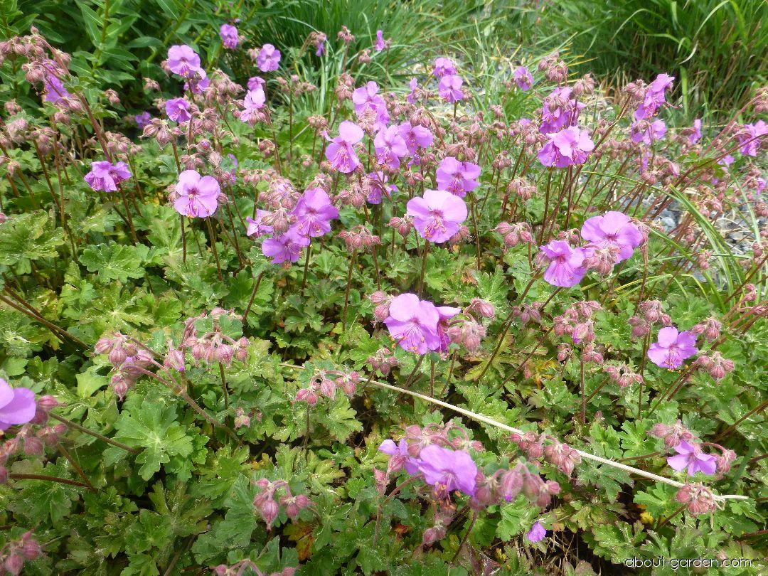 Kakost kantabrijský Berggarten (Geranium x cantabrigiense)