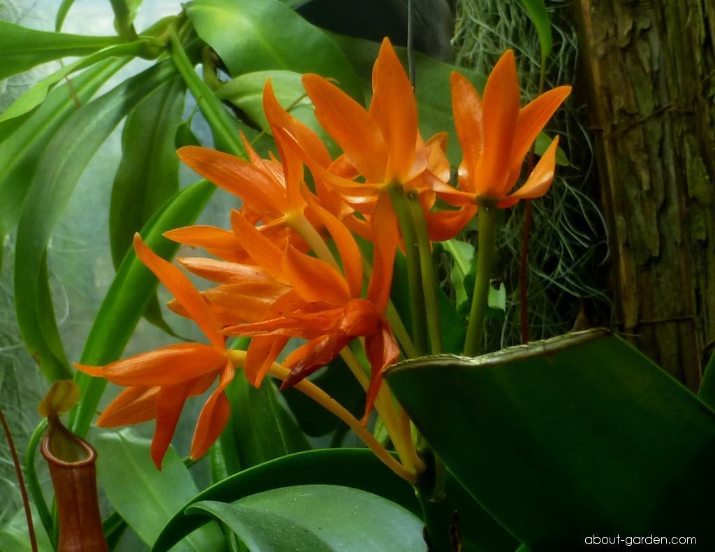 Katleja (Cattleya aurantiaca)