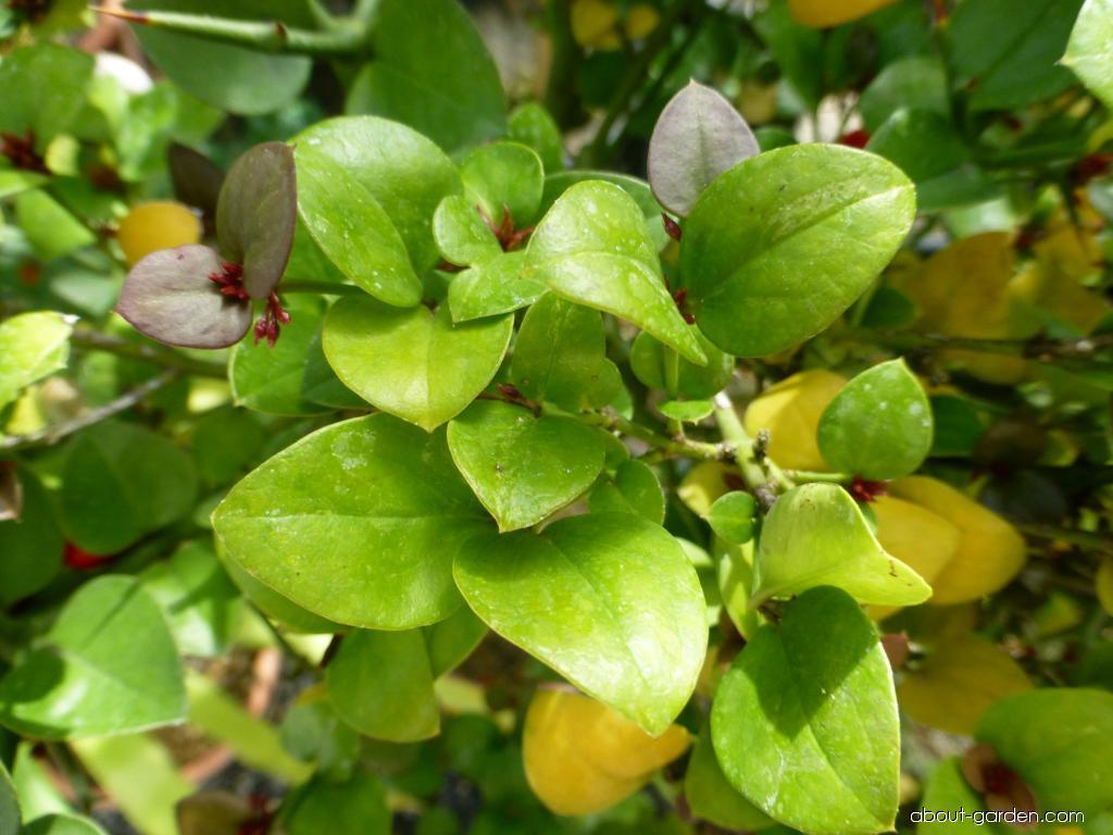 Karisa velkokvětá (Carissa macrocarpa)