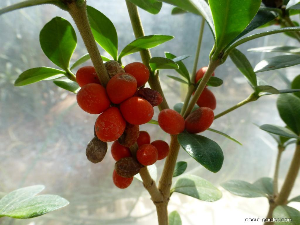 Alyxie - plody (Alyxia ruscifolia)