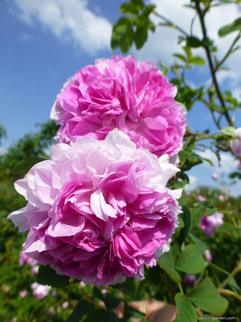 Rose - Rosa Blush Damask