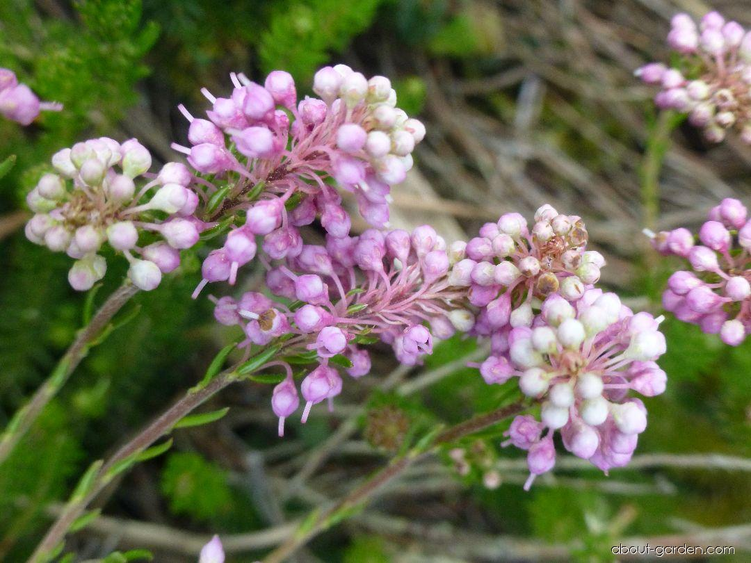 Vřesovec klasnatý (Erica spiculifolia)