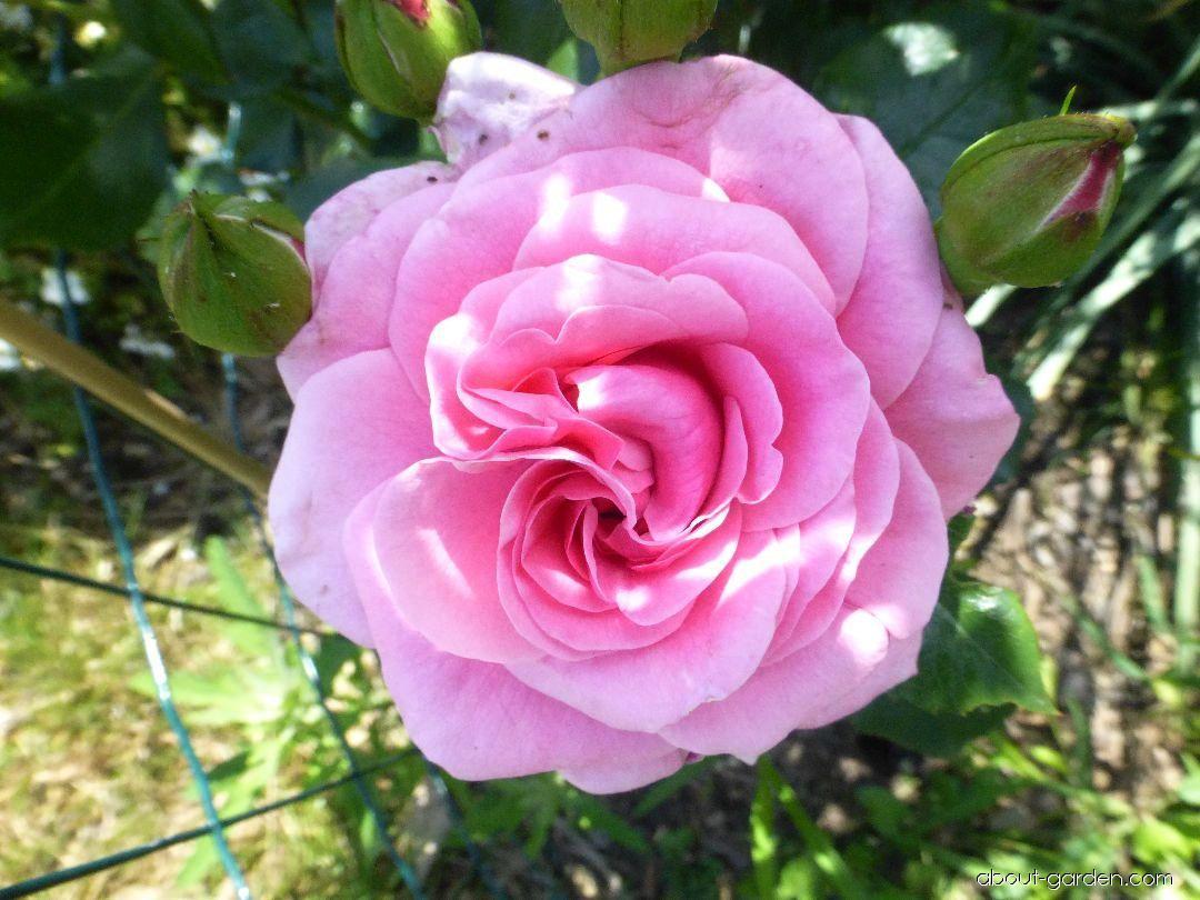 Rose - Rosa Dornröschenschloss Sababurg