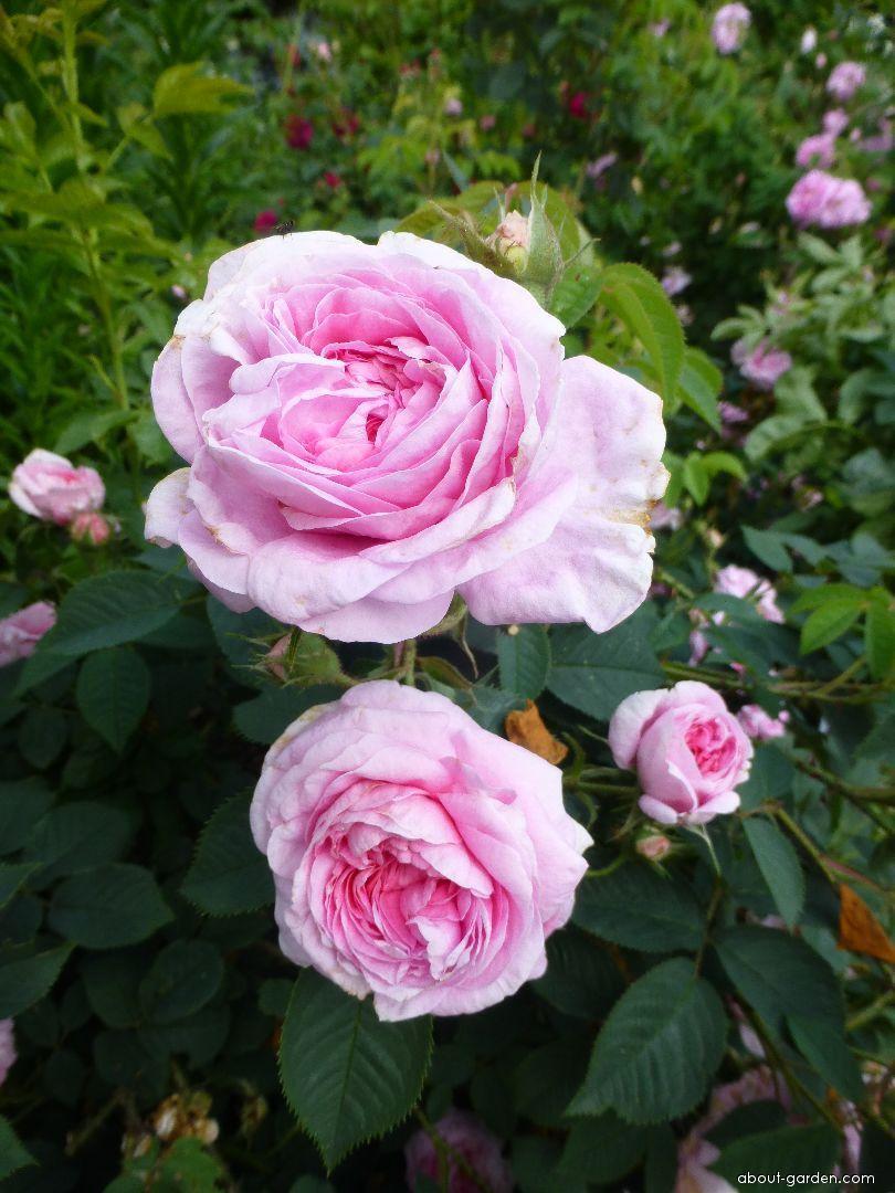 Rose - Rosa Königin von Dänemark