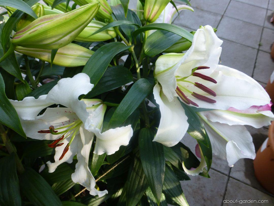 Lily - Lilium x hybridum Brasilia