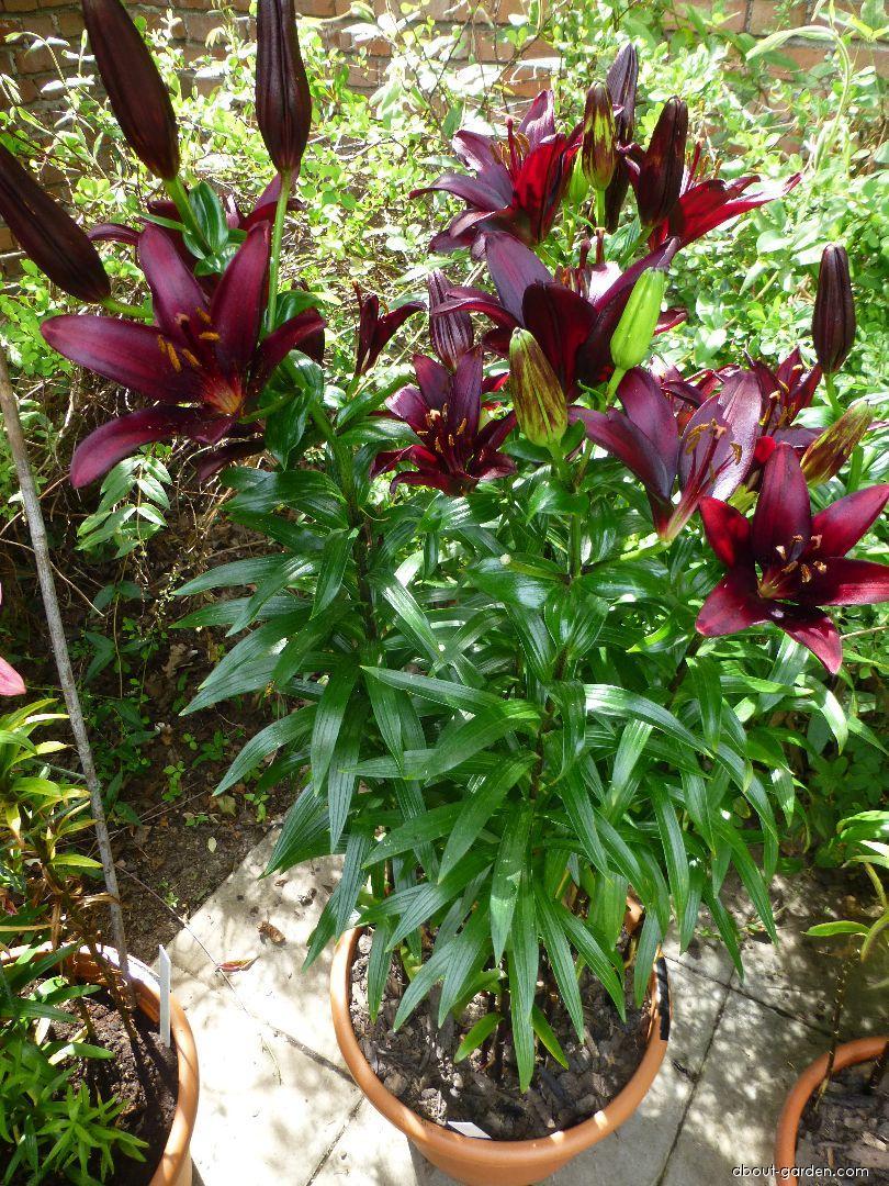 Lily - Lilium x hybridum Landini