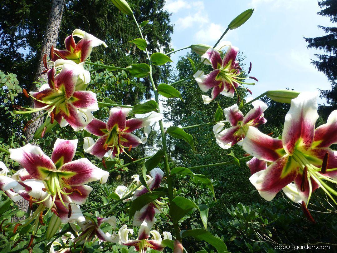 Lily - Lilium x hybridum Scheherazade
