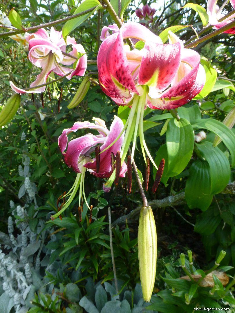 Lily - Lilium x hybridum Black Beauty