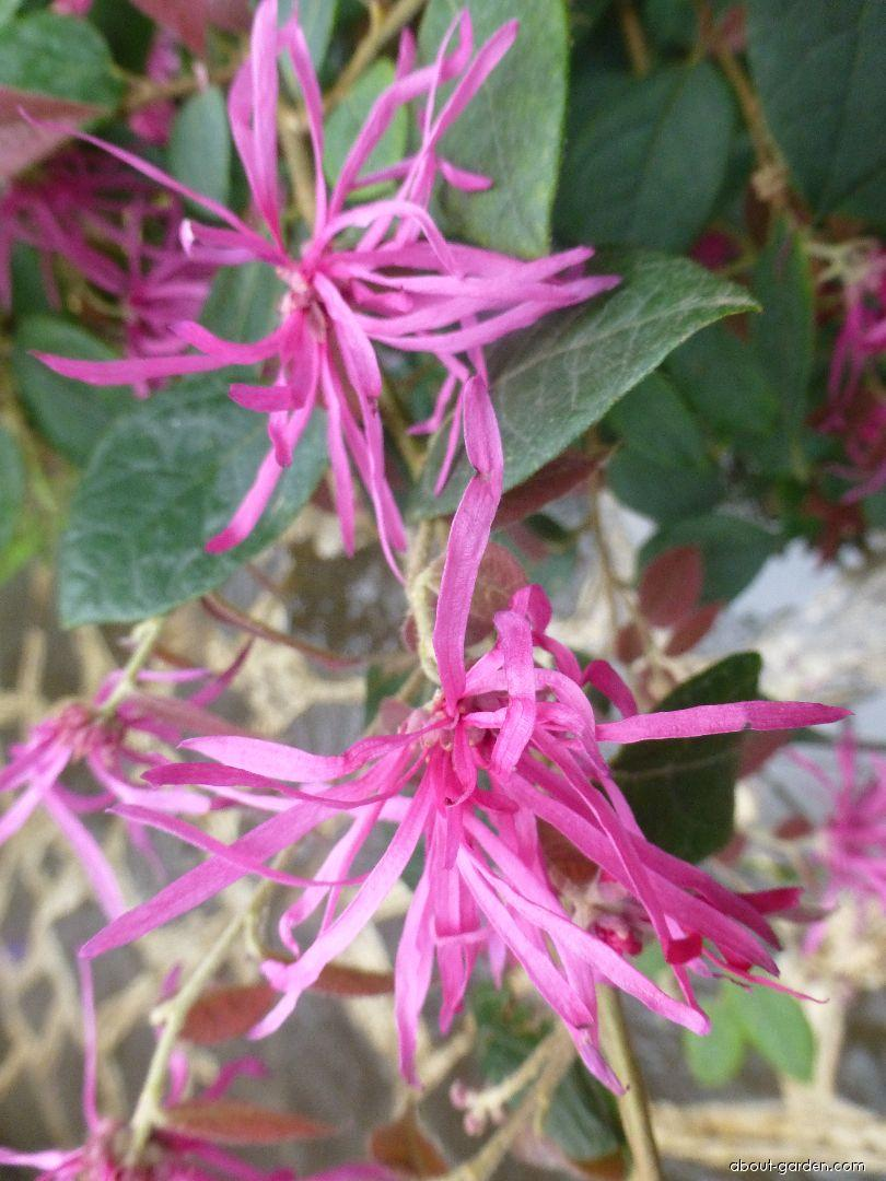 Loropetalum čínské Burgundy (Loropetalum chinense)