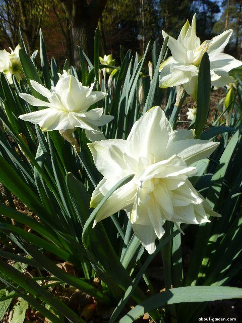 Daffodil - Narcissus White Medal