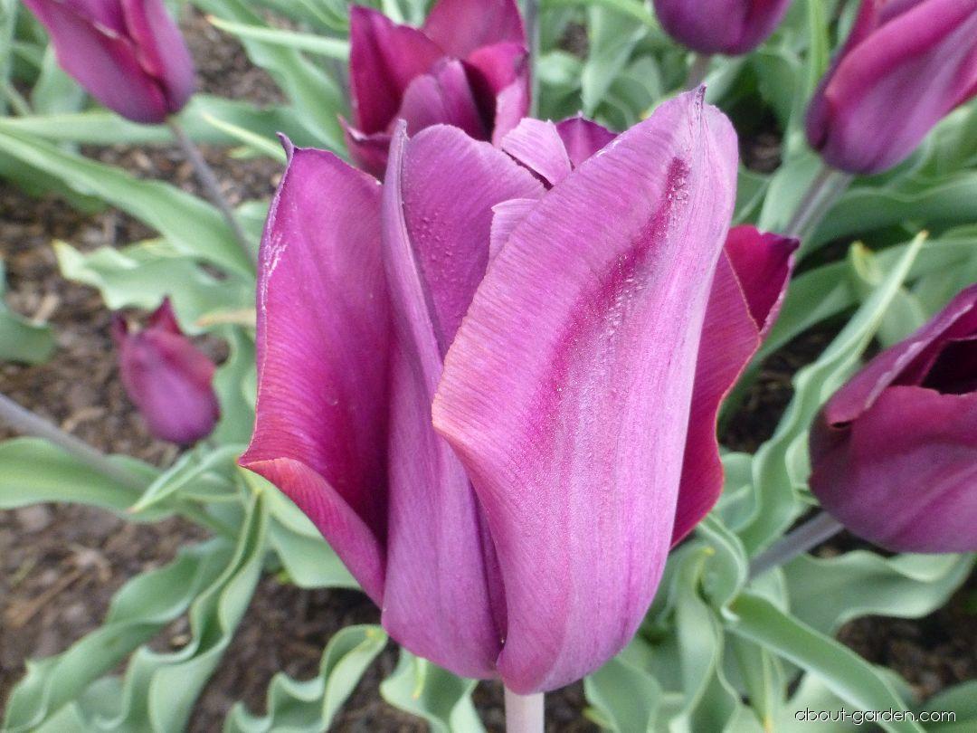 Tulip - Tulipa Lejsek