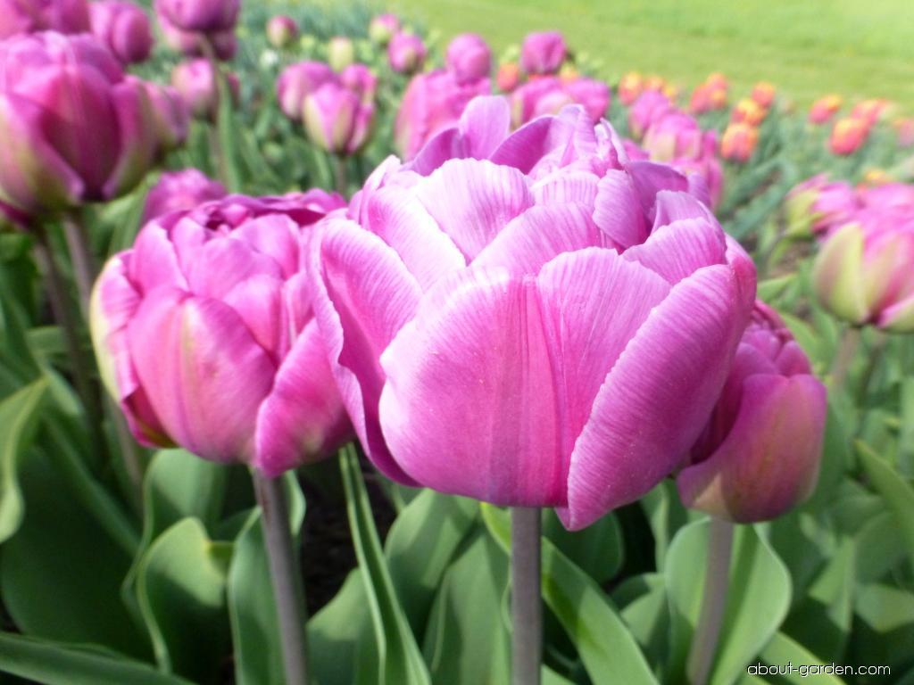 Tulip - Tulipa Blue Diamond