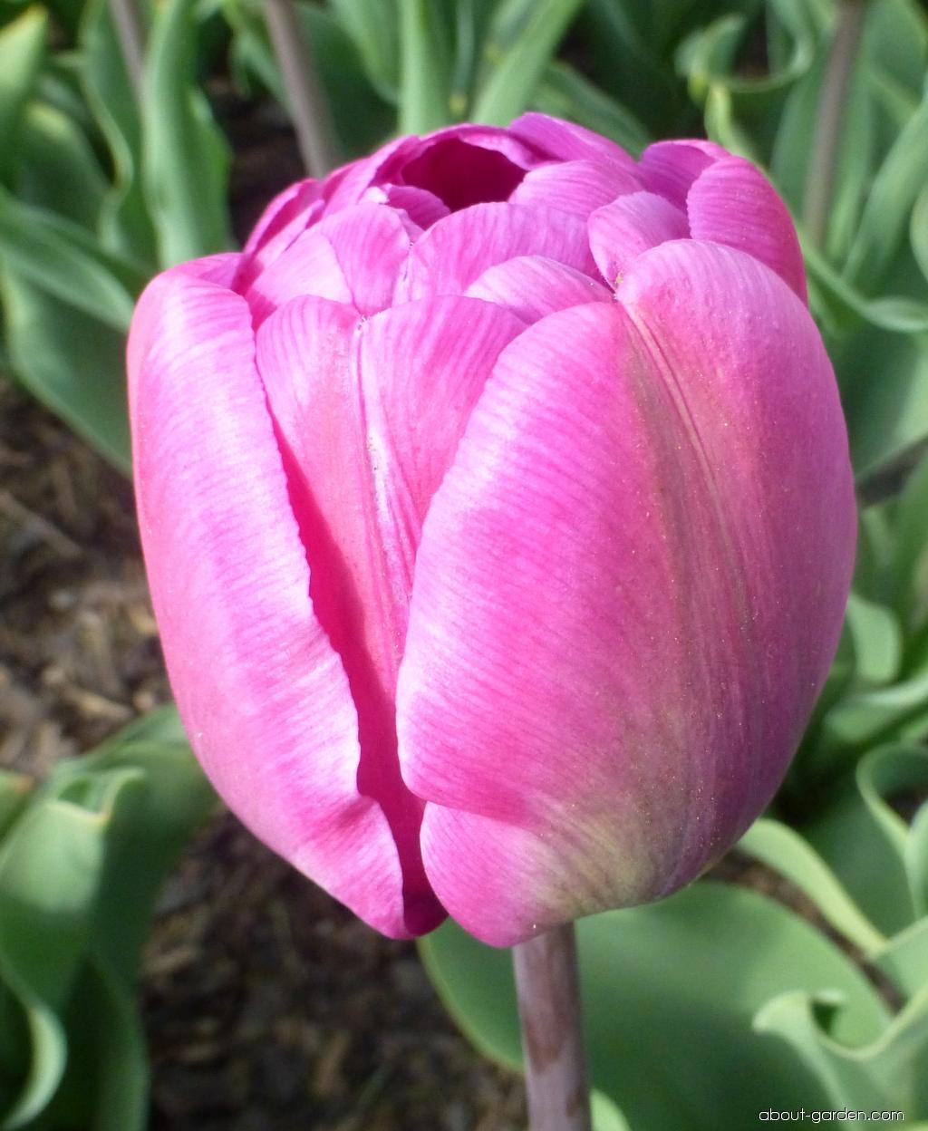 Tulip - Tulipa Blue Diamond